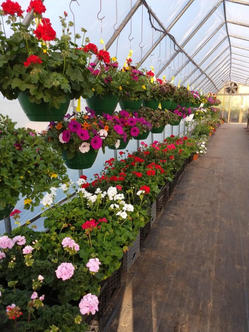 More hanging baskets & geraniums