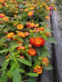 Lantana Hot Blooded Red