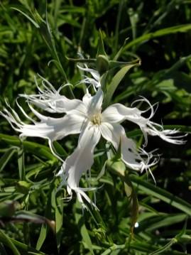 Dianthus Bearded (fragrant)
