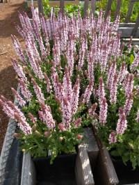 Salvia Salute Light Pink