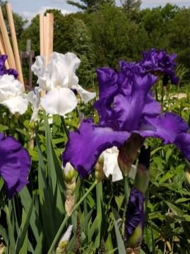 Reblooming Irises