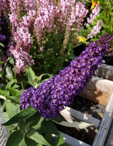 Buddleia Butterfly Bush Pugster Blue from Proven Winners