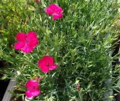 Dianthus Zing Rose Groundcover
