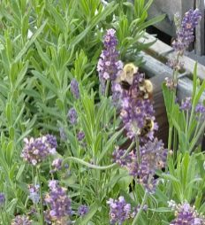 3 Bumblebees in Lavender
