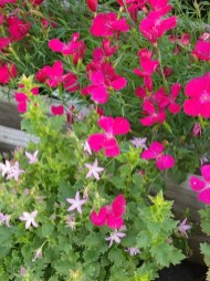 Campanula Pinkins and Dianthus groundcover Zing Rose