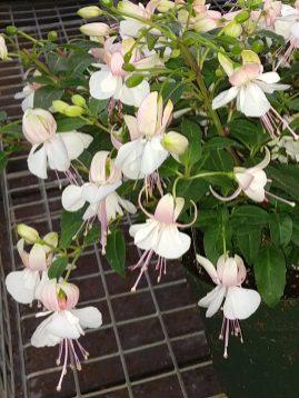 Upright Fuchsia Windchimes White