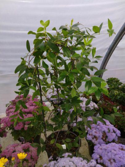 Gelsimium - Carolina Jessamine fragrant early bloomer
