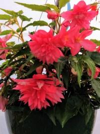 Funky Pink Begonia