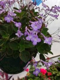 Streptocarpella Houseplant