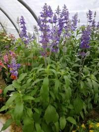 Salvia Victoria Blue (annual)
