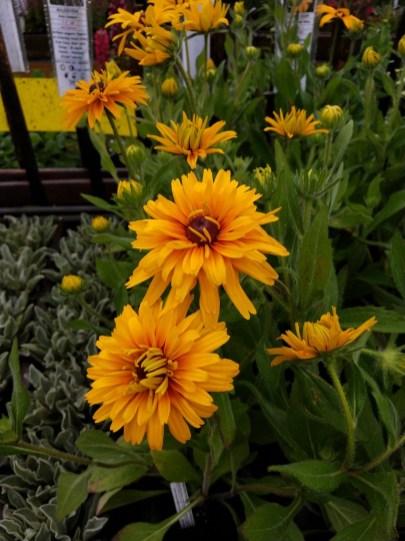 Rudbeckia Double Gloriosa Daisy