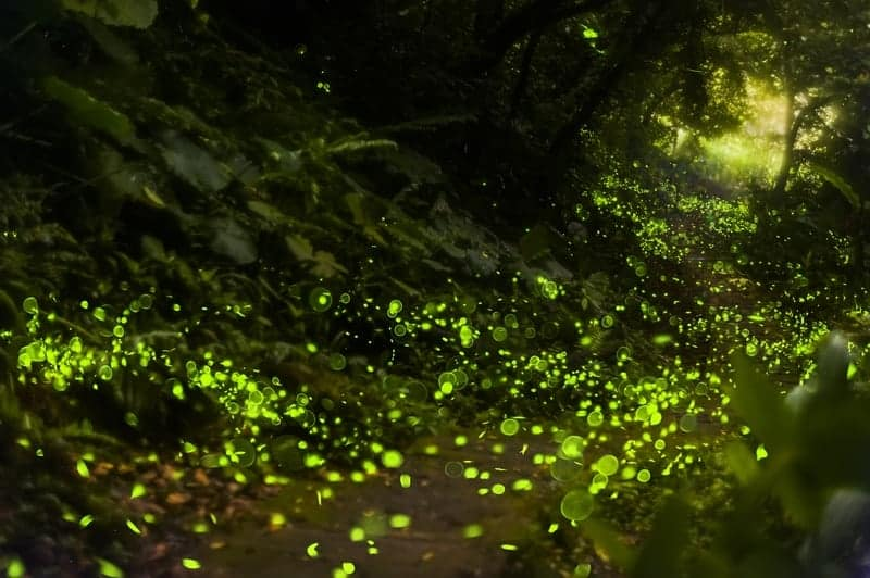 Forest Fireflies Light