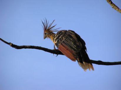 Hoatzin in Bolivian Amazon Rainforest tour