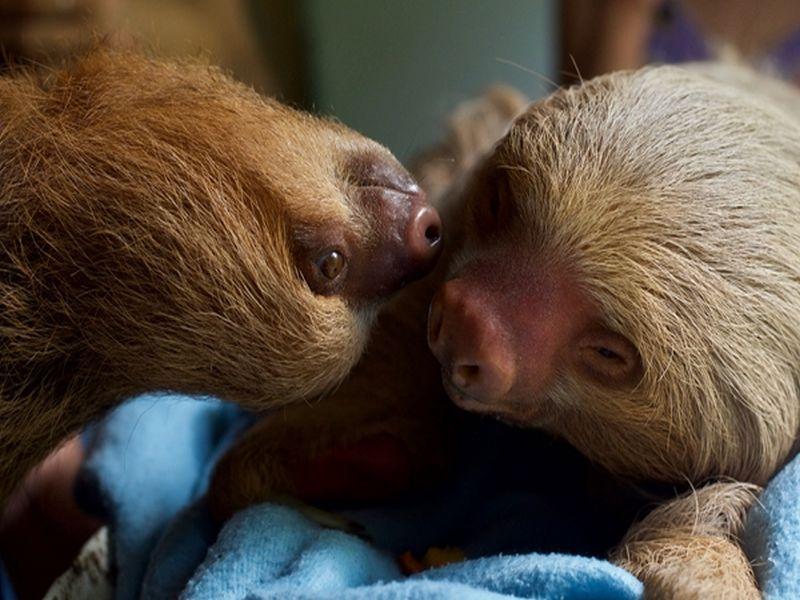 Sloths at the Esperanza Verde animal rescue center in Peru
