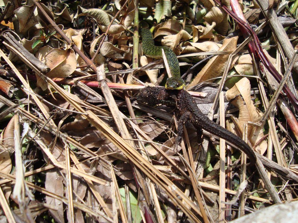 Snake eating lizard in the Amazon Rainforest
