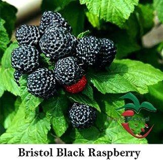 Bristol Raspberry - 5 Black Rasberry Plant- Best Black Raspberry Flavor