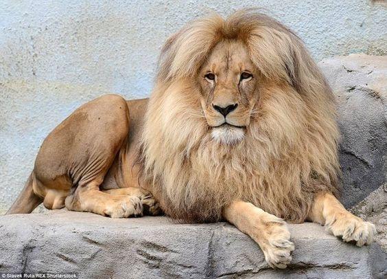 獅子中分頭
