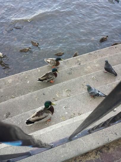 caico new hope ducks (25)