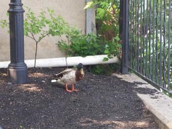 caico new hope ducks (9)