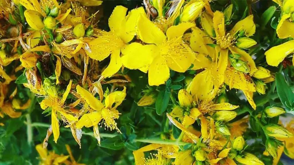 fiori di iperico proprietà