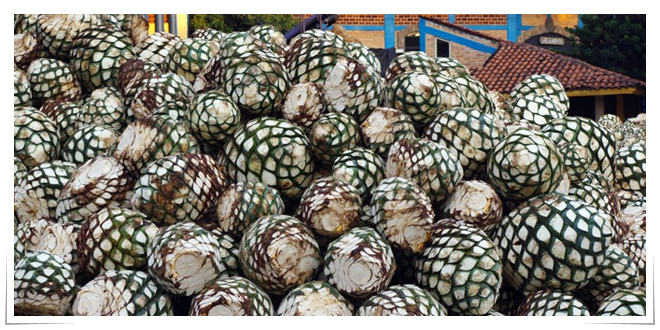 foto_agave_nota