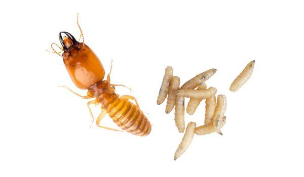 Eliminar termitas y carcomas