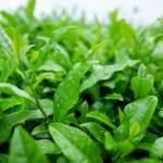30 amazing health benefits of green tea