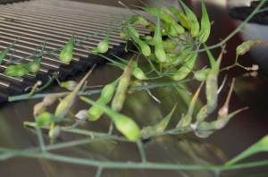 Luftradieschen - Samen gewinnen