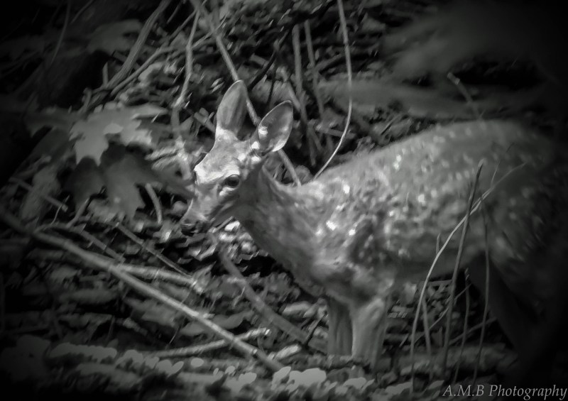 In black and white, this fawn was just adorable. I am grateful that it let me capture this image.