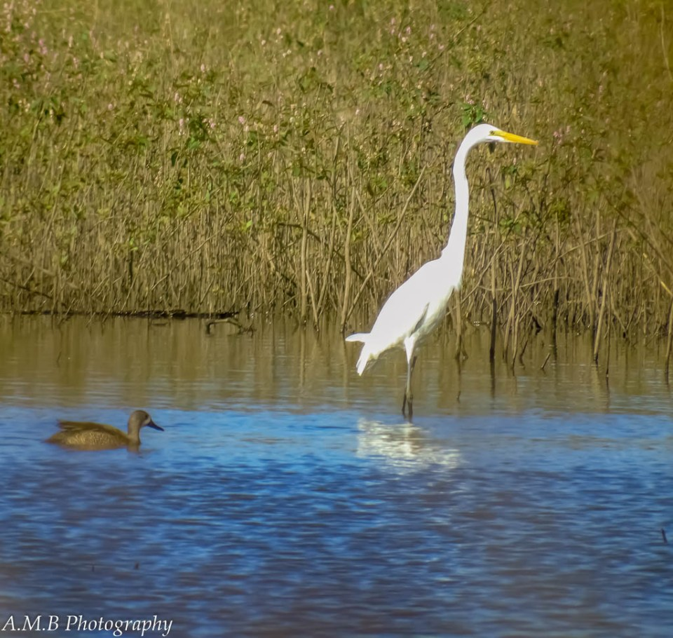 A white pelican and female mallard duck just hanging out together at a water wildlife refuge.