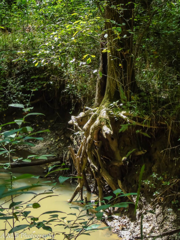 The sunlight shines upon this great tree's exposed roots; roots that are sipping from the creek below.