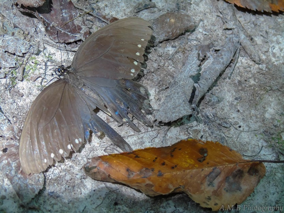 An old and possibly dying moth, lying next to a newly fallen leaf.