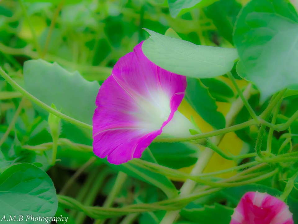 A morning glory growing in A.M.B's home garden.