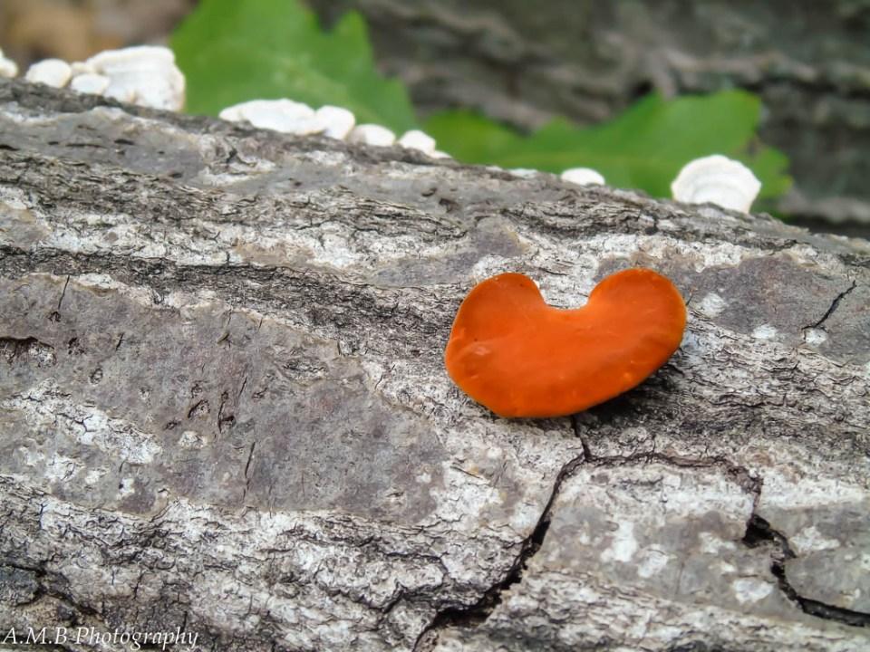 Tiny orange and white mushrooms on a grey log, found in Missouri.