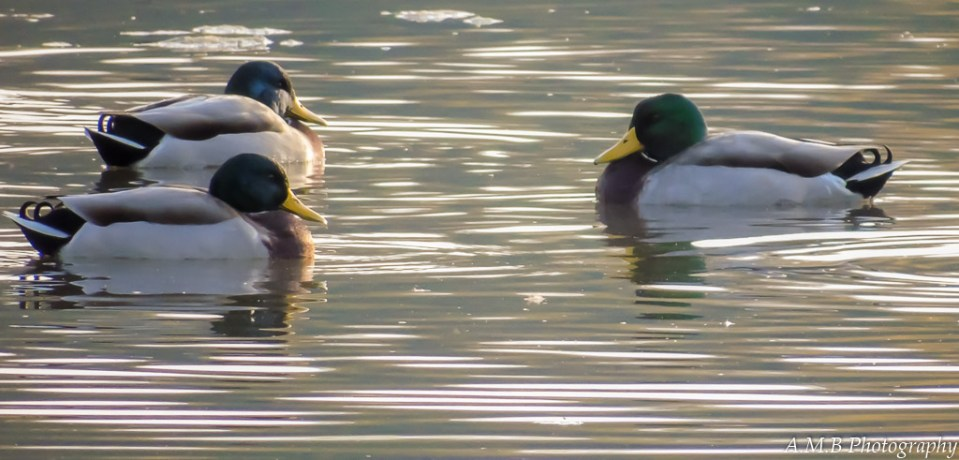While on a morning cruise in the Fall of '16, I captured this along the roadside. A few of the mallard ducks were peacefully relaxing in a nearby pond.