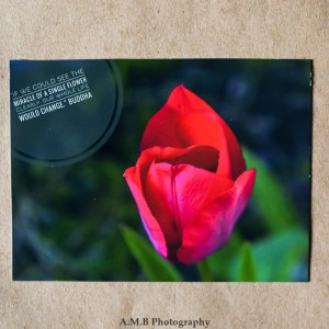 This vivid Red tulip was growing in one of my flower bed this Spring, 2017. A nature quote by Buddha accompanies the image.