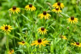We just let the black-eyed susans grow wild in our home garden in Peoria, Illinois. They are such beautiful prairie flowers. One of my favorites!