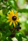 Lovely black eyed susans growing amongst a black raspberry vine in our home garden in Peoria, Illinois. Captured the Summer of 2017.
