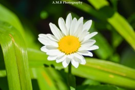 A daisy from our home garden in Peoria, Illinois. Captured the Summer, 2017.