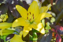 Striking yellow lilies growing up into our Royal Crabapple tree in the front yeard of our home in Peoria, Illinois. Captured in the Summer of 2017.