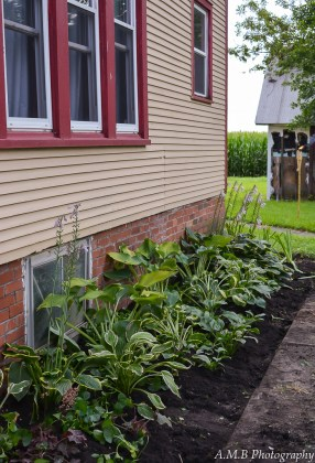 Our Hosta Bed in Dana, Illinois. The first transplant, two months since moving in June, 2017. :)