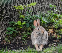 This little buddy was hanging out in our front yard in Dana, Illinois. I saw him from the front door. He kept sitting there, so I got my camera. He posed while I got many shots, this being the best one.