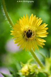 Cute little wild sunflower were growing in a wildflower patch at one of our favorite State Parks. Captured the Summer of 2017.