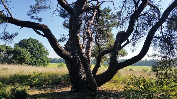 Wandelen over het Peelpad bij een eikenboom bij de Groote Slink