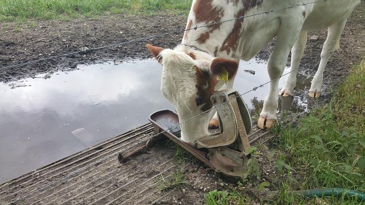 Wandelen over het Peelpad bij koeien op Landgoed Tongelaar