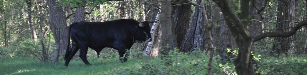 Taurusos tijdens wandeling met Jos van de Wijst op Maashorst in Uden
