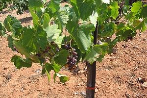 Druivenrank op wandeling over Corfu-trail op Grieks eiland Corfu