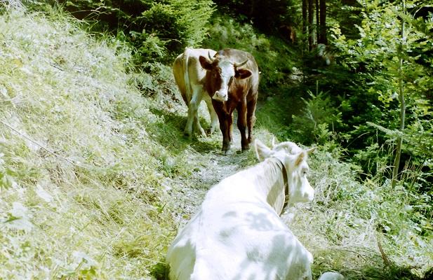 Koeien op wandelpad tijdens wandelreis in Zwitserland