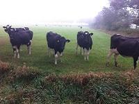 Koeien bij Wittelte op wandeling over Drenthepad van Diever naar Wittelte