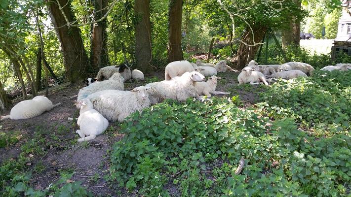 Wandelen over het Grebbeliniepad bij schapen langs de Grebbelinie